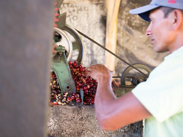 수확한 커피를 기계를 통해 껍질을 벗기는 작업.