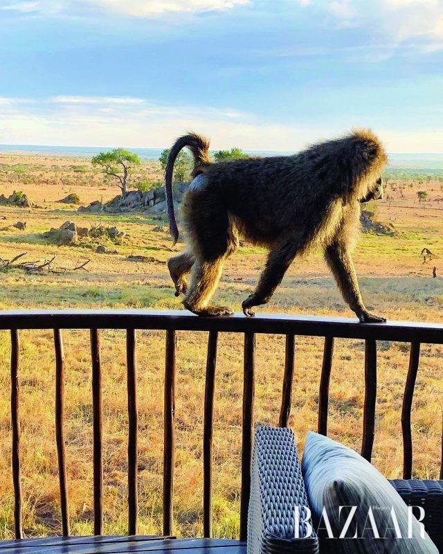 호텔 테라스에 나타난 블루 원숭이.