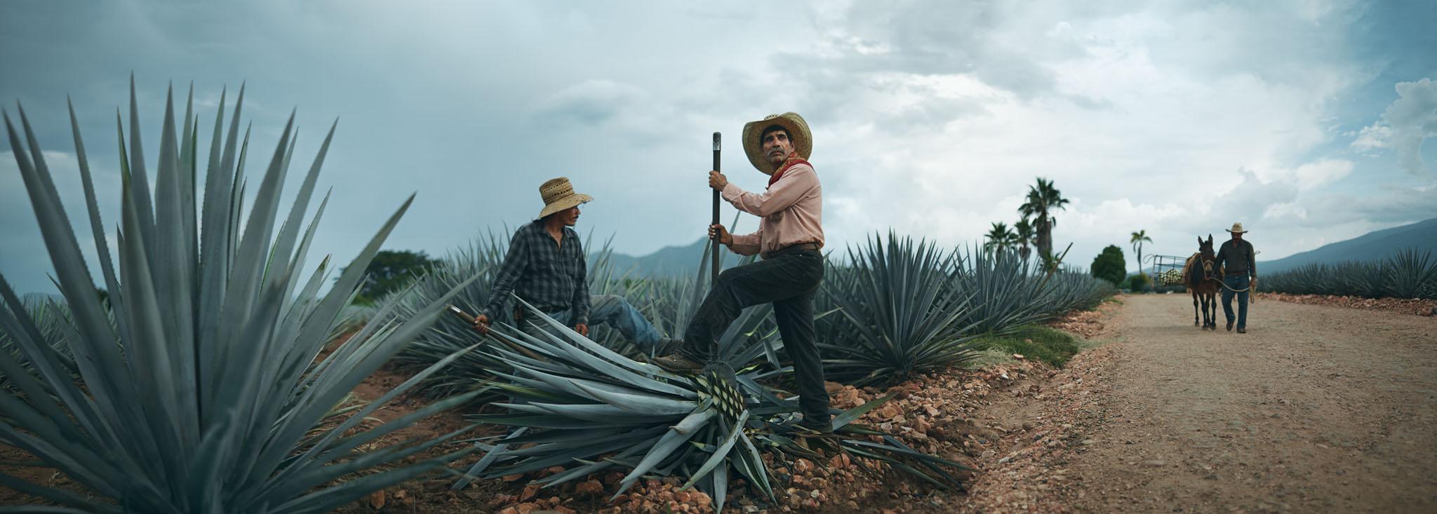 철없고 돈없던 시절 클럽에서 들이키던 샷이 데킬라에 대한 기억의 전부라면, 멕시코 데킬라 마을로의 여행은 당신을 깜짝 놀라게 할 것이다