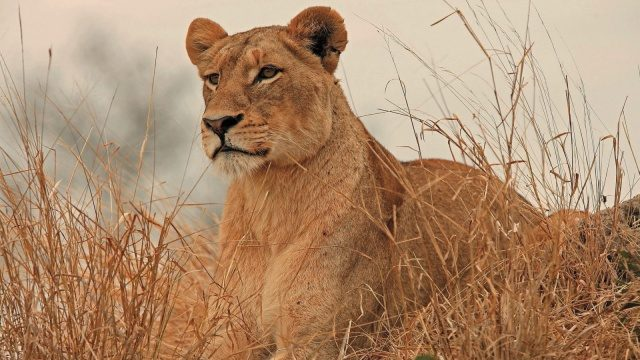 메루 국립공원에서 가장 쉽게 마주할 수 있는 동물은 사자다.