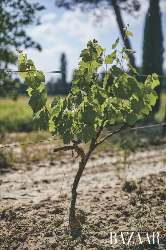 세 달 전에 늙어 죽은 포도나무를 대신해 심은 시라 품종의 포도나무.